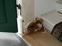 Holzschutz, Bild Hausschwamm-Fruchtkörper