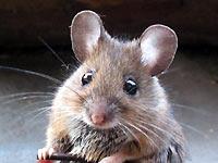 Bild Hausmaus  Mäuse hausmaus