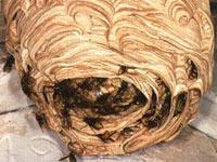 Bild Hornissennest  Hornissen hornissennest
