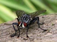 stubenfliege  Fliegen stubenfliege