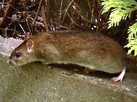 Wanderratte, Rattenbefall, Rattenbekämpfung
